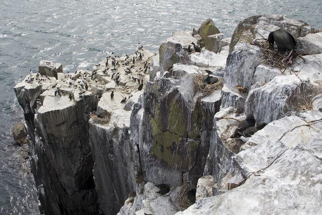 Sea cliffs on Inner Farne - geograph.org.uk - 806791