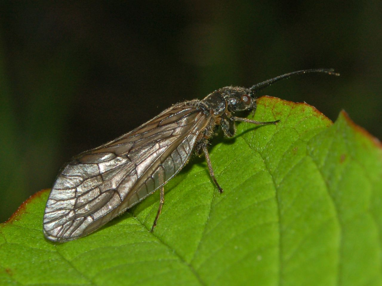 Sialidae - Sialis sp..JPG © Hectonichus (Wikimedia Commons - CC-BY-SA-3.0; GFDL)