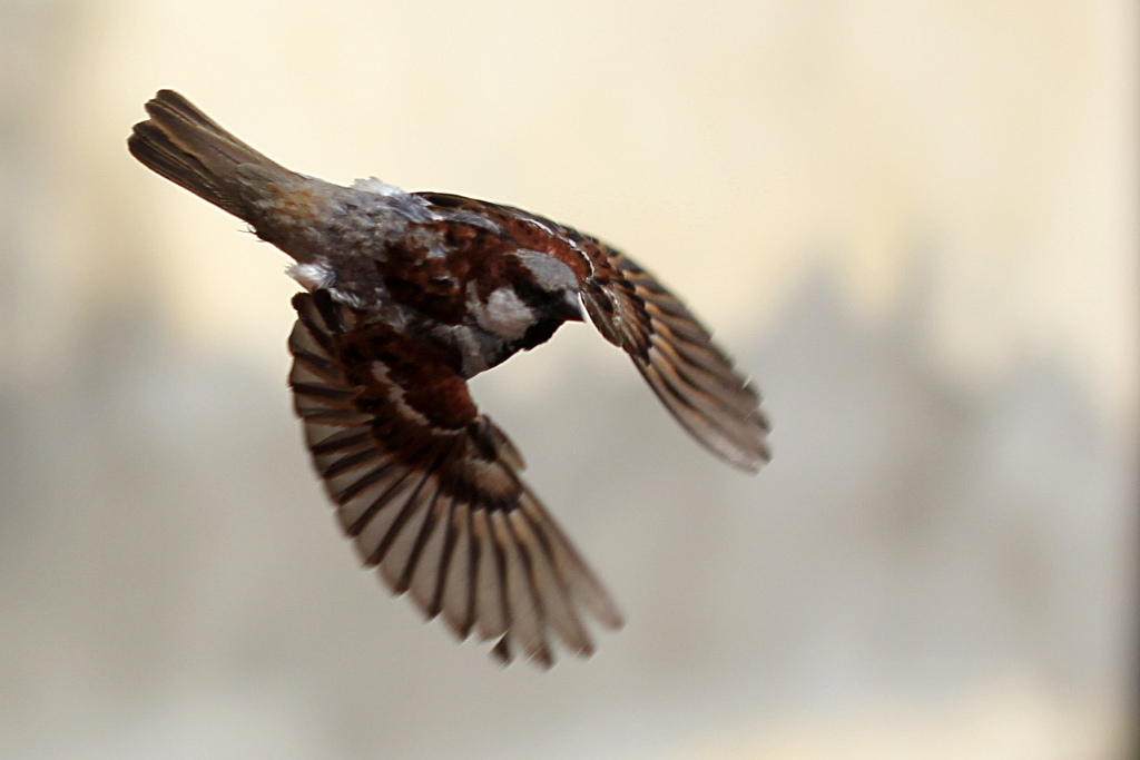 File:Sparrow wings.jpg - Wikimedia Commons