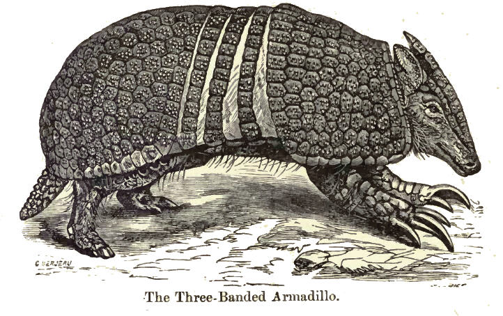 The average litter size of a Southern three-banded armadillo is 1