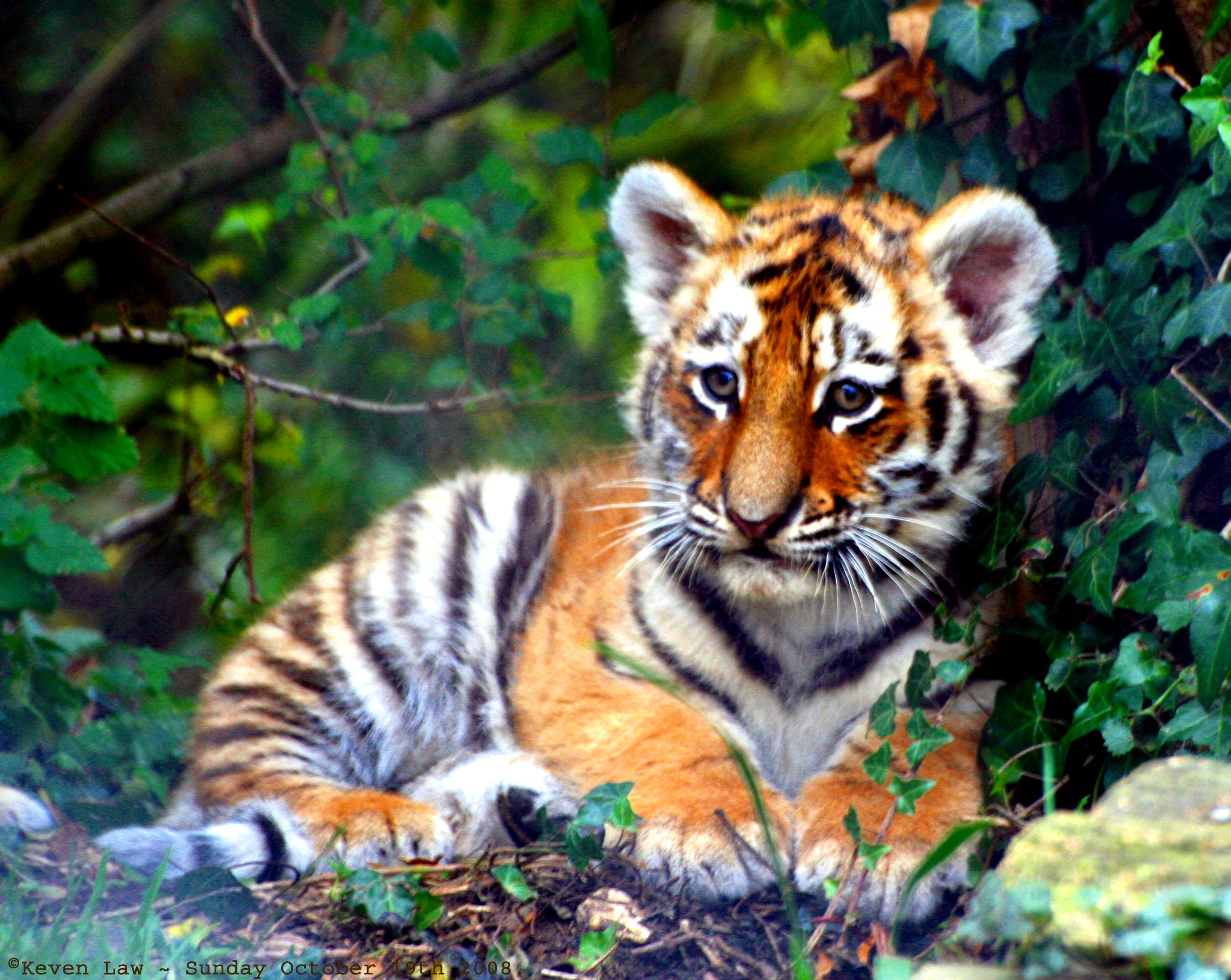 tiger cub dating