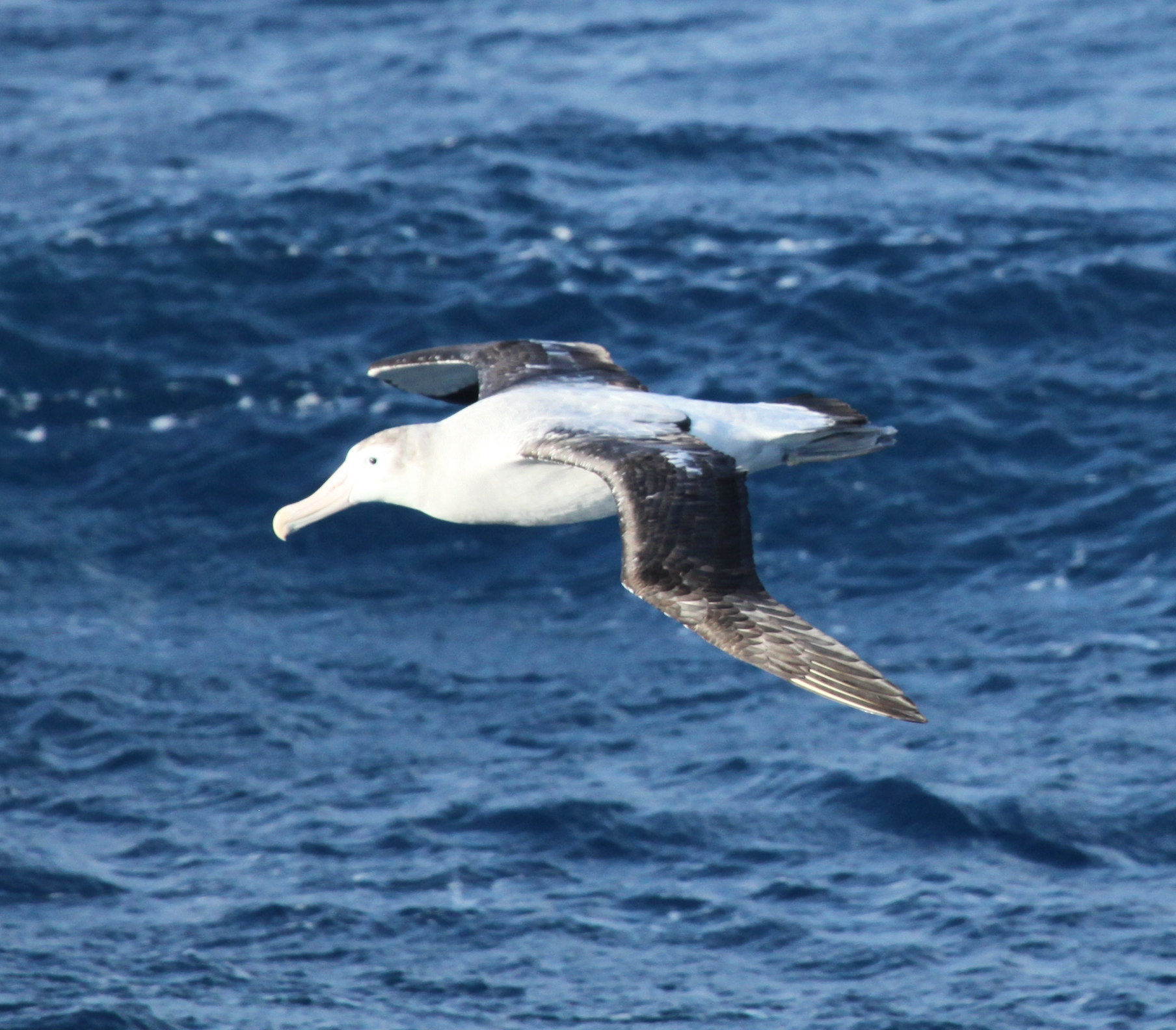 Mystery of how the wandering albatross travels 10000