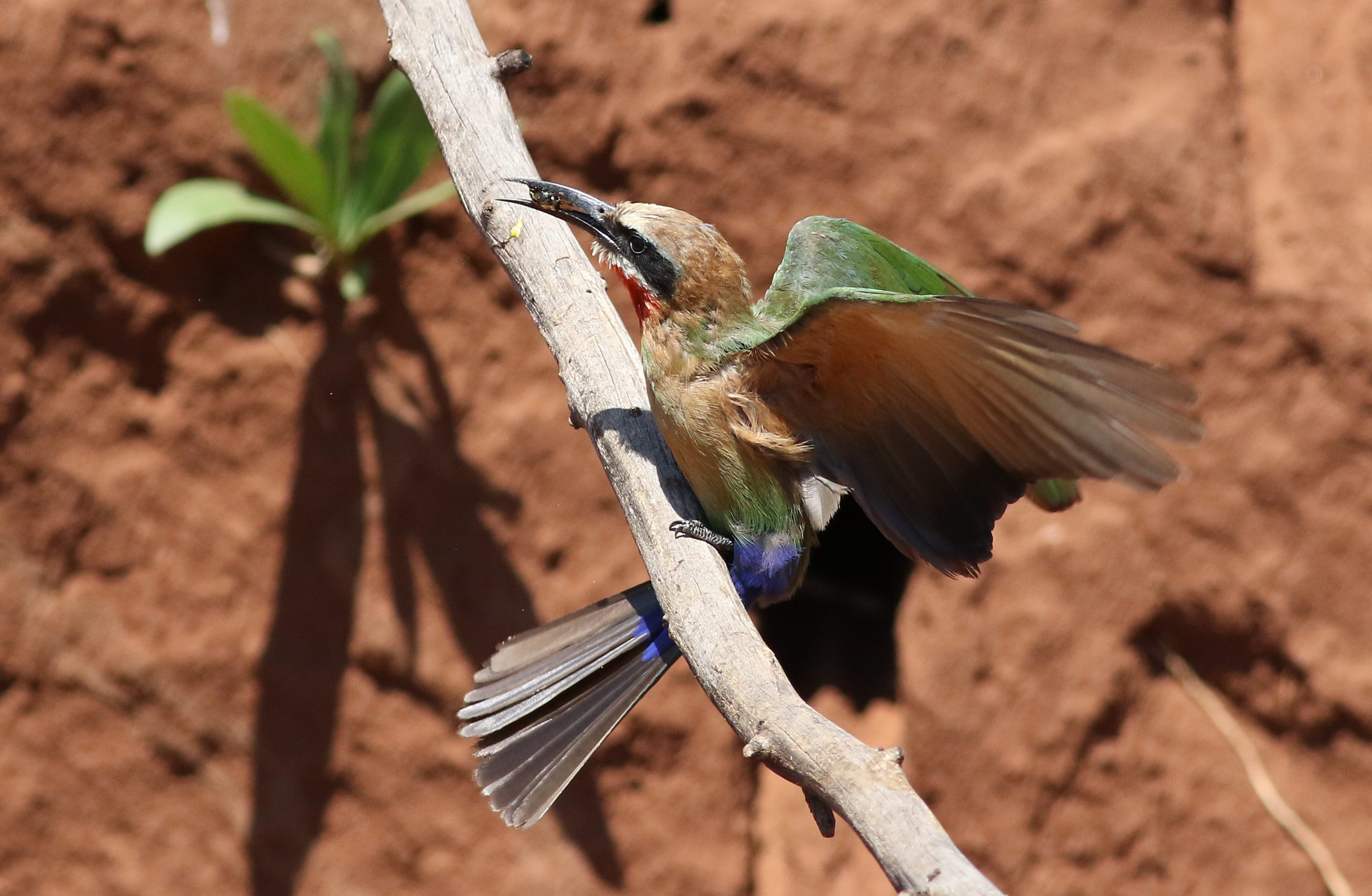 File:White-fronted Bee-eater, Merops bullockoides, at Ezemvelo Nature  Reserve