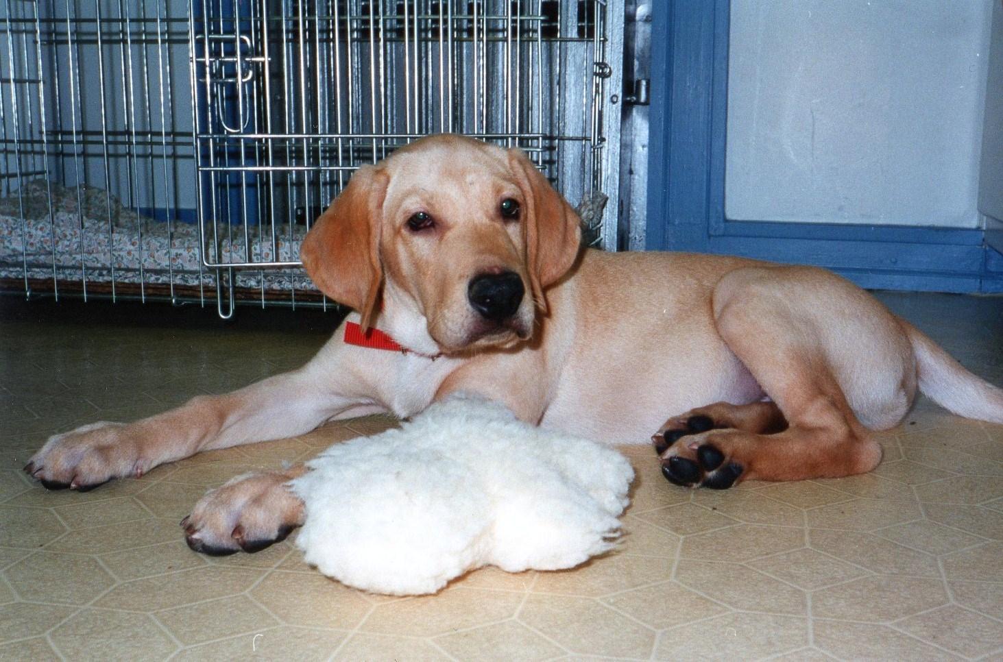 Yellow lab puppy growth chart edgrafik yellow lab puppy growth chart yellow labrador retriever puppyg wikimedia commons nvjuhfo Images