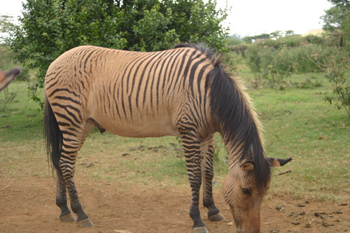 File:Zebroid.jpg