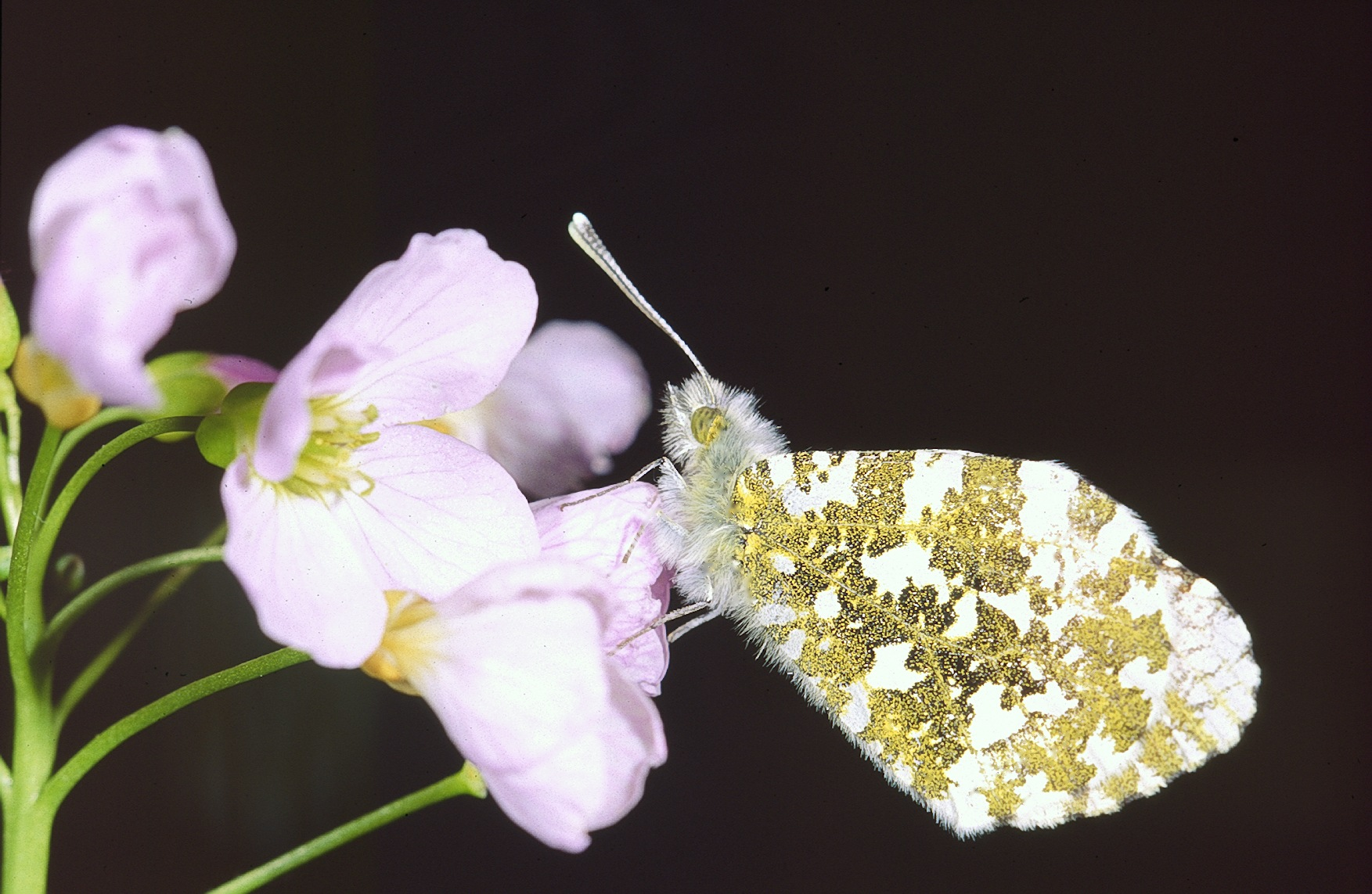 Cardamine des près plante utile sauvage salade papillon près du sentier au potager