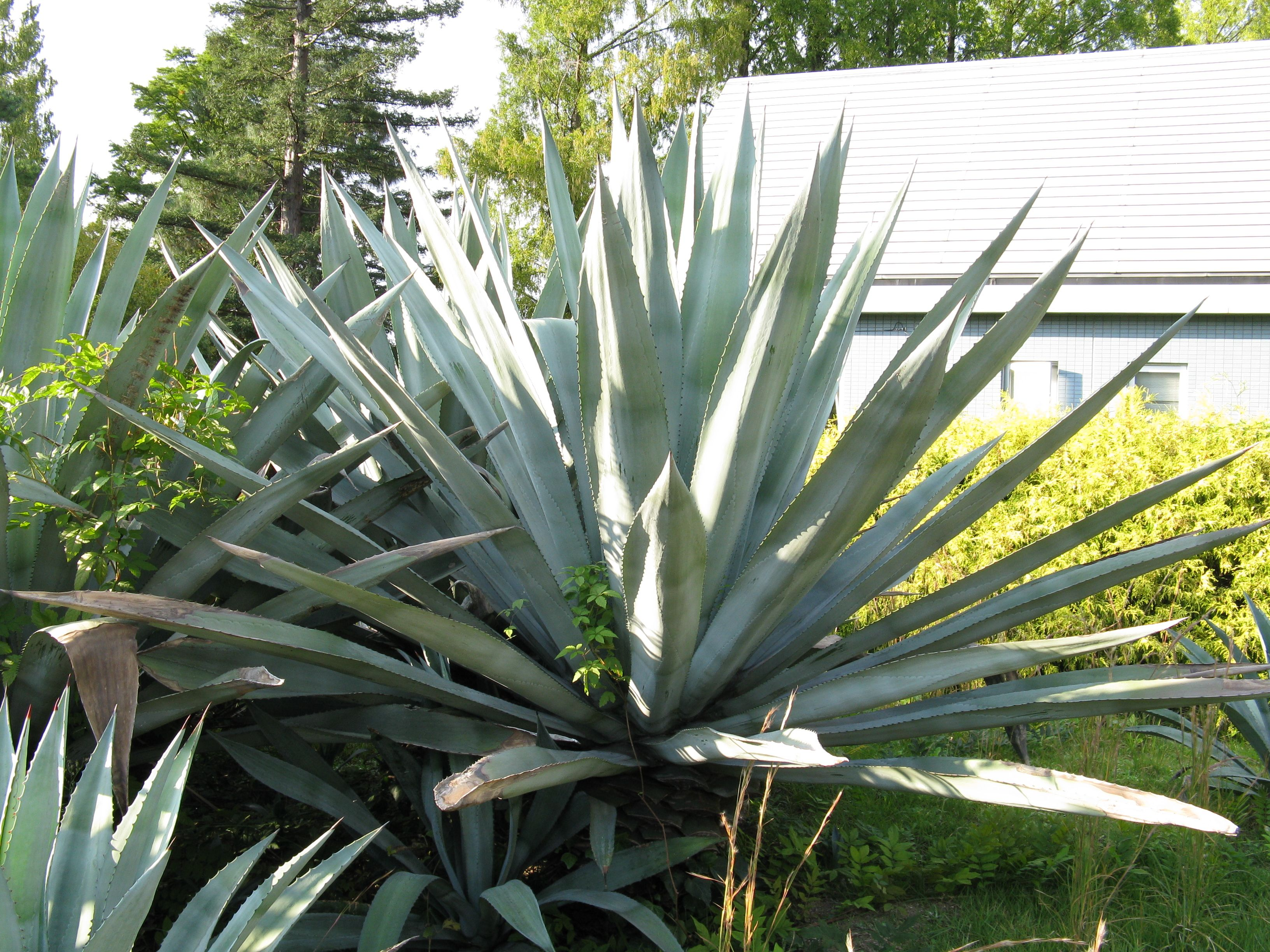 File agave wikimedia commons for Plante yucca