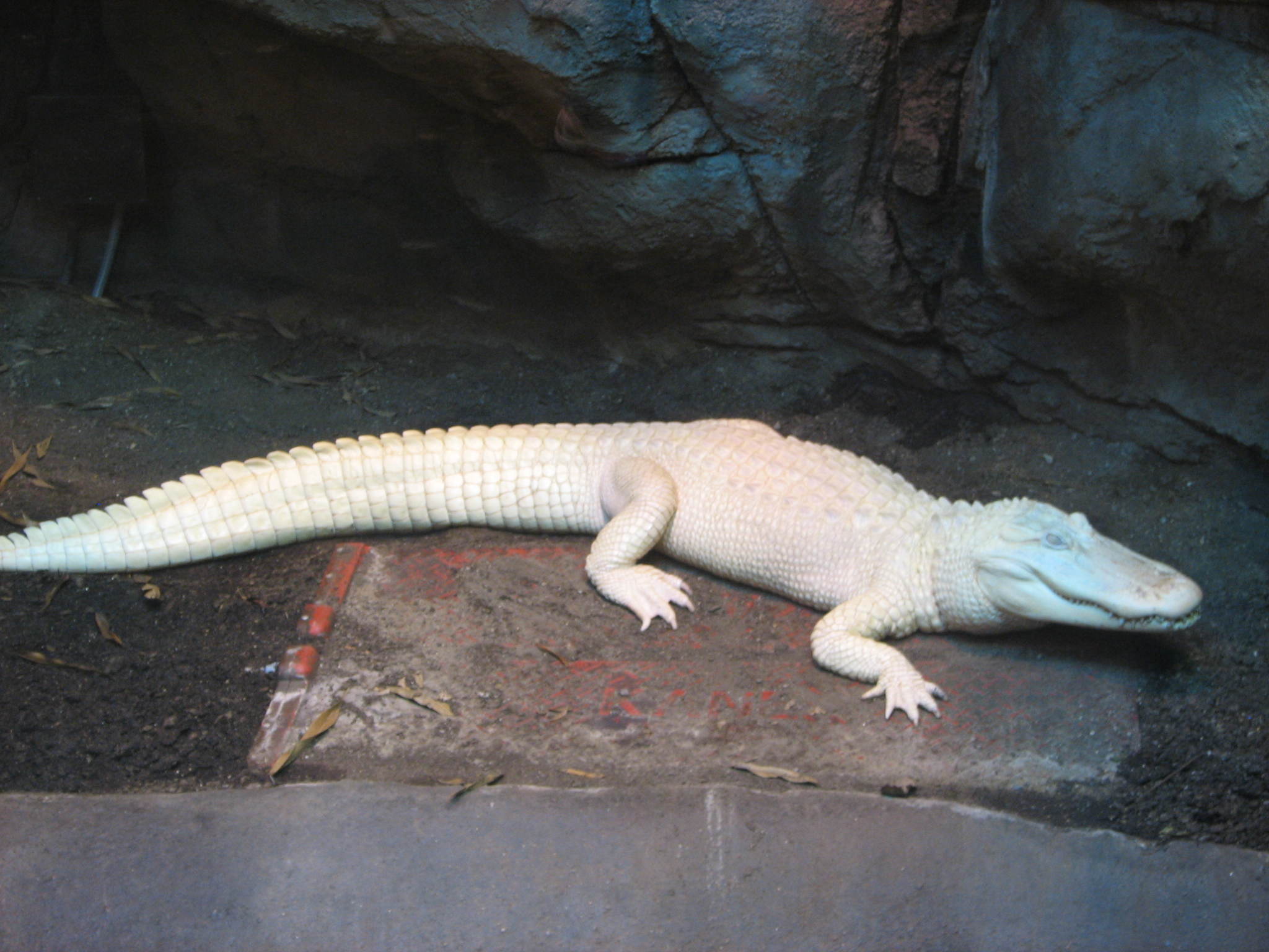 Allie the Alliterative Albino American Alligator