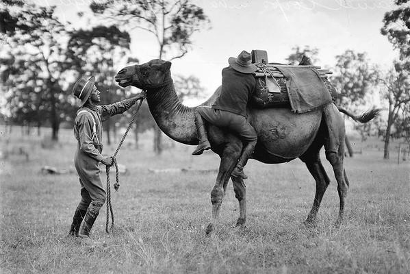 United States Camel Corps - Wikipedia