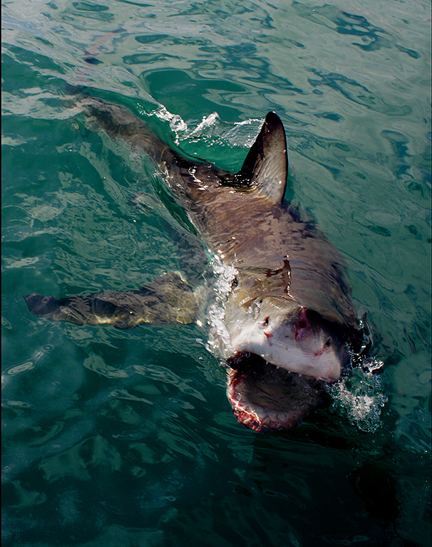 File:Attacking great white shark.jpg - Wikimedia Commons