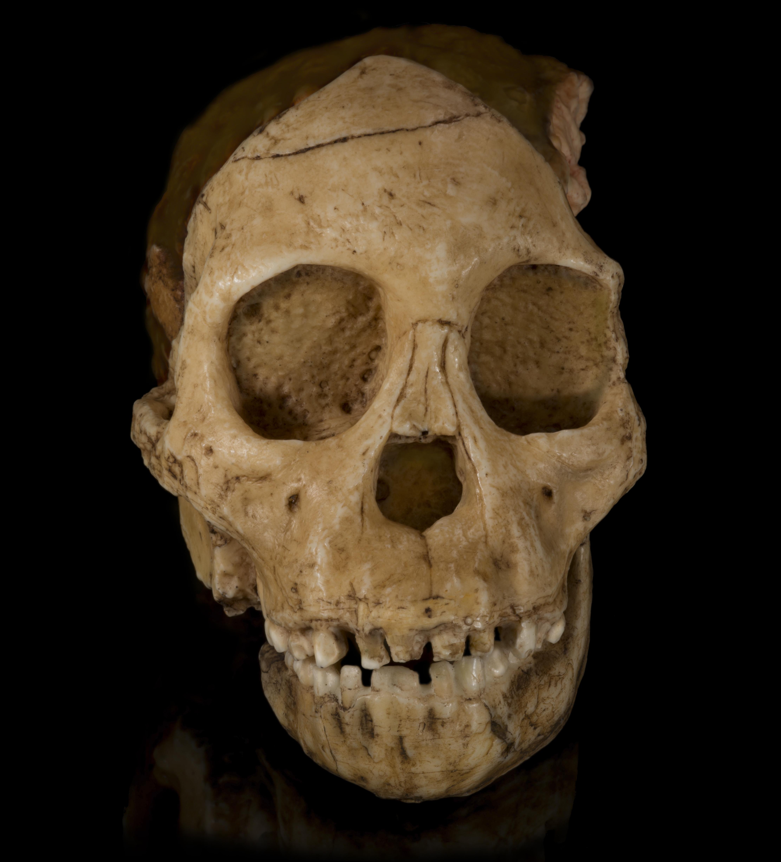 Baby Chimpanzee Skull