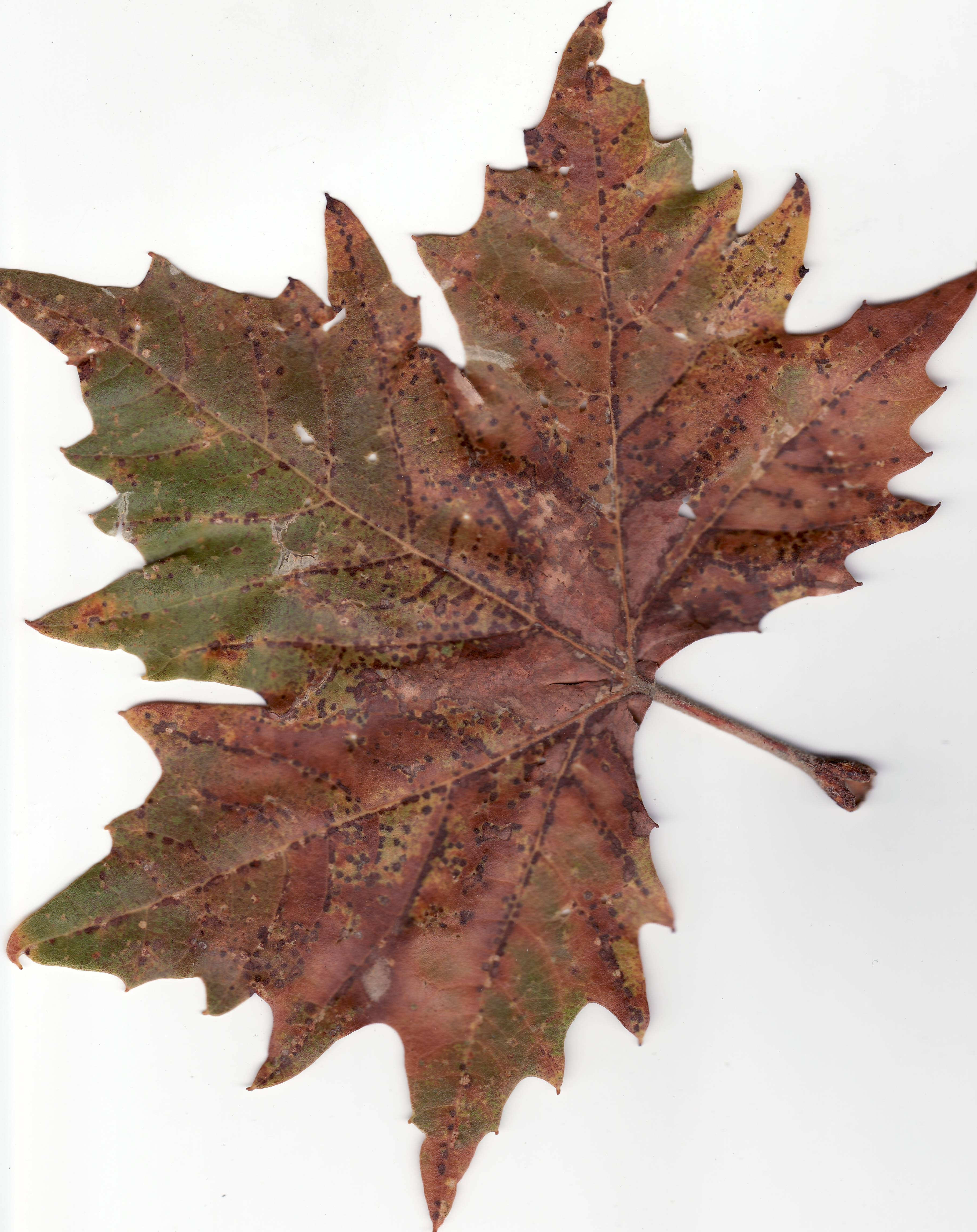 fall from plane london with File Autumn American Sycamore Leaf on Deciduous Nursery as well Racing Driver David Coulthard Makes Speedy Exit Leaves The Box Nightclub Mystery Woman further 10 Best Things To Do In Madrid A Loved Up Inside Guide likewise Racing Driver David Coulthard Makes Speedy Exit Leaves The Box Nightclub Mystery Woman additionally Family Vacation Europe Malta With Kids.