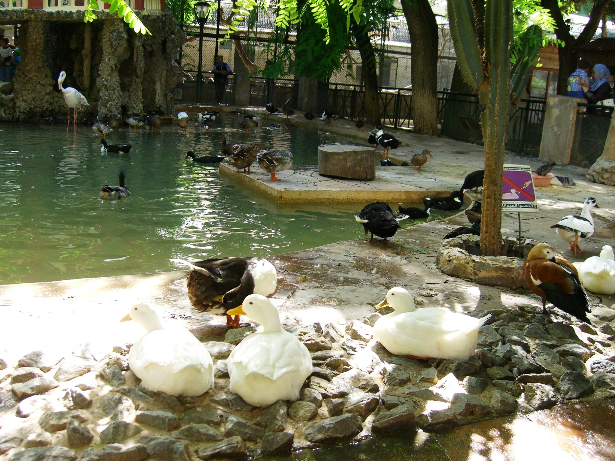 Modèle De Bassin De Jardin intérieur fichier:bassin des palmipèdes - jardin d'essai el hamma - alger