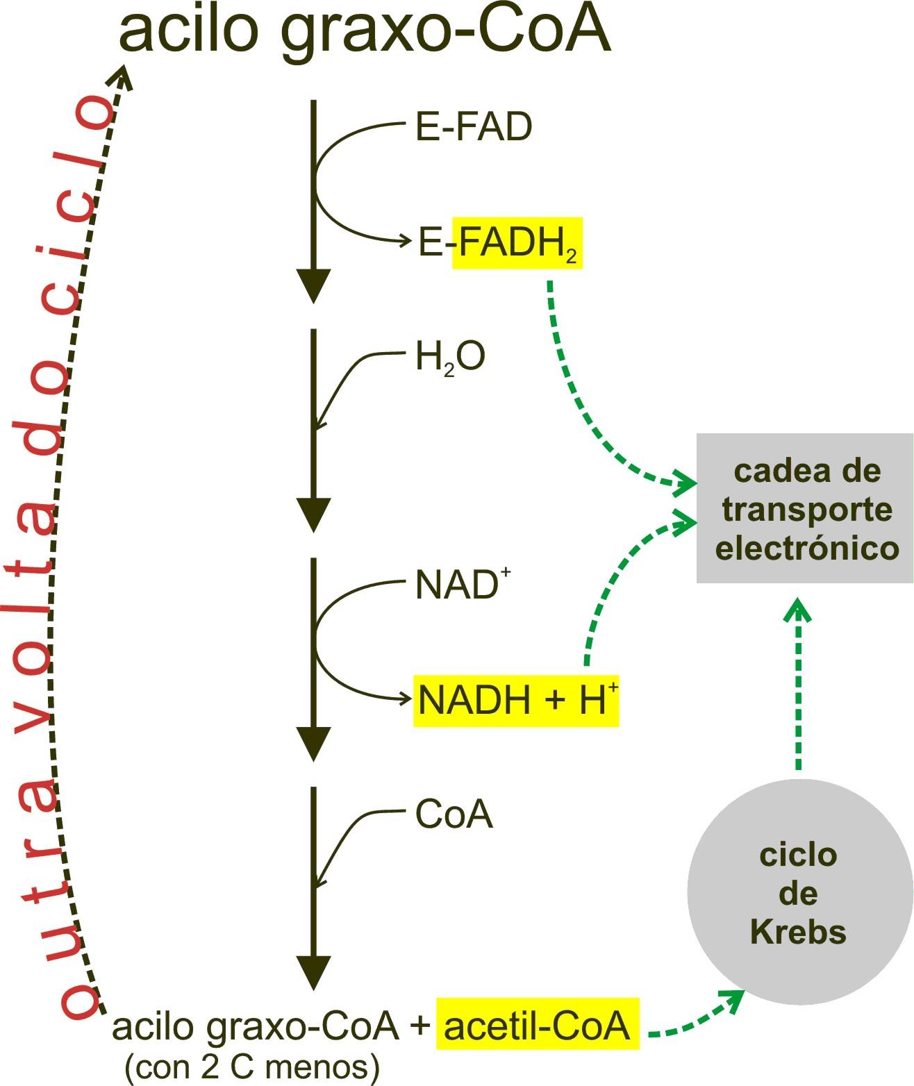 Beta-oxidaci
