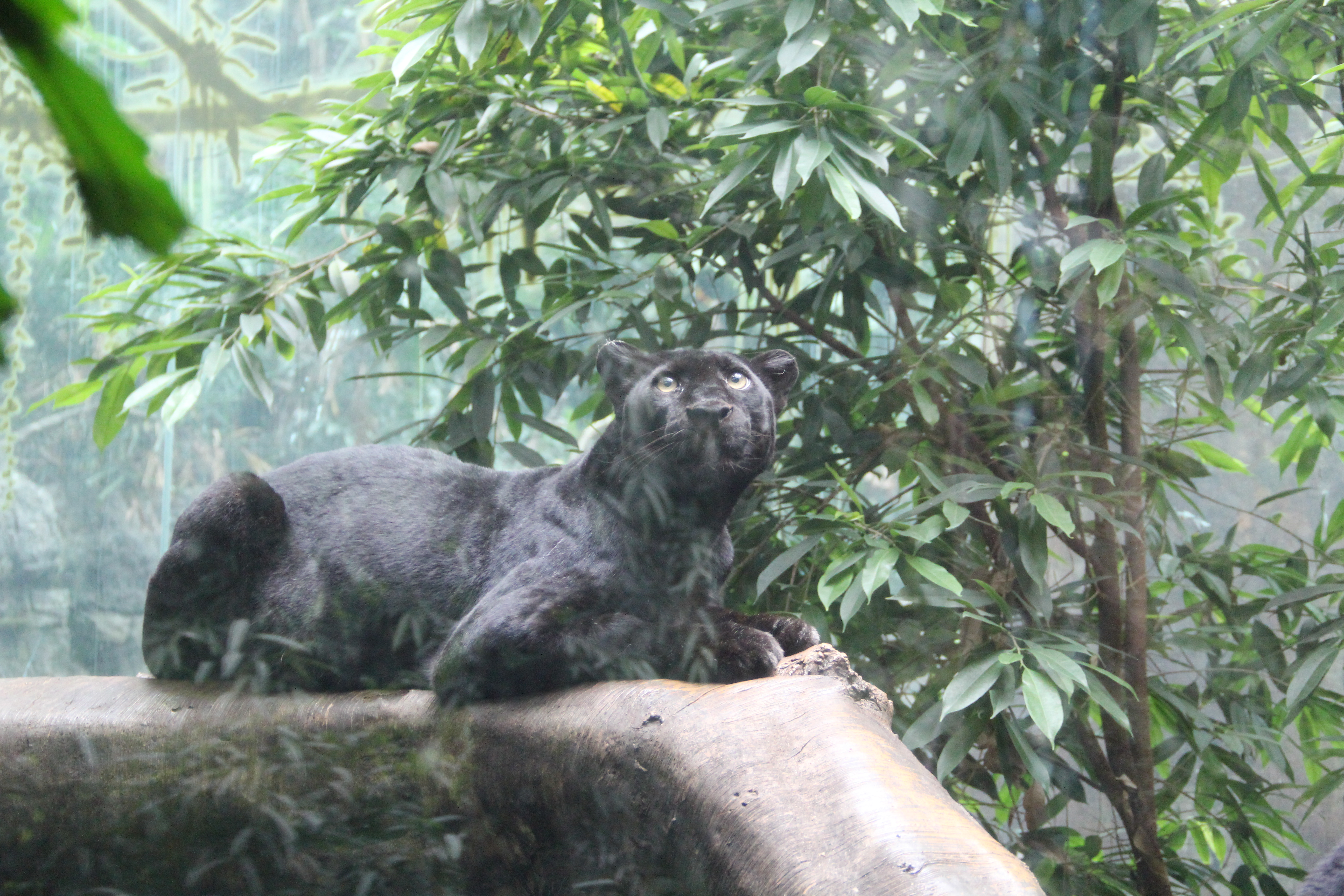File Black Panther At Bronx Zoo Jpg Wikimedia Commons