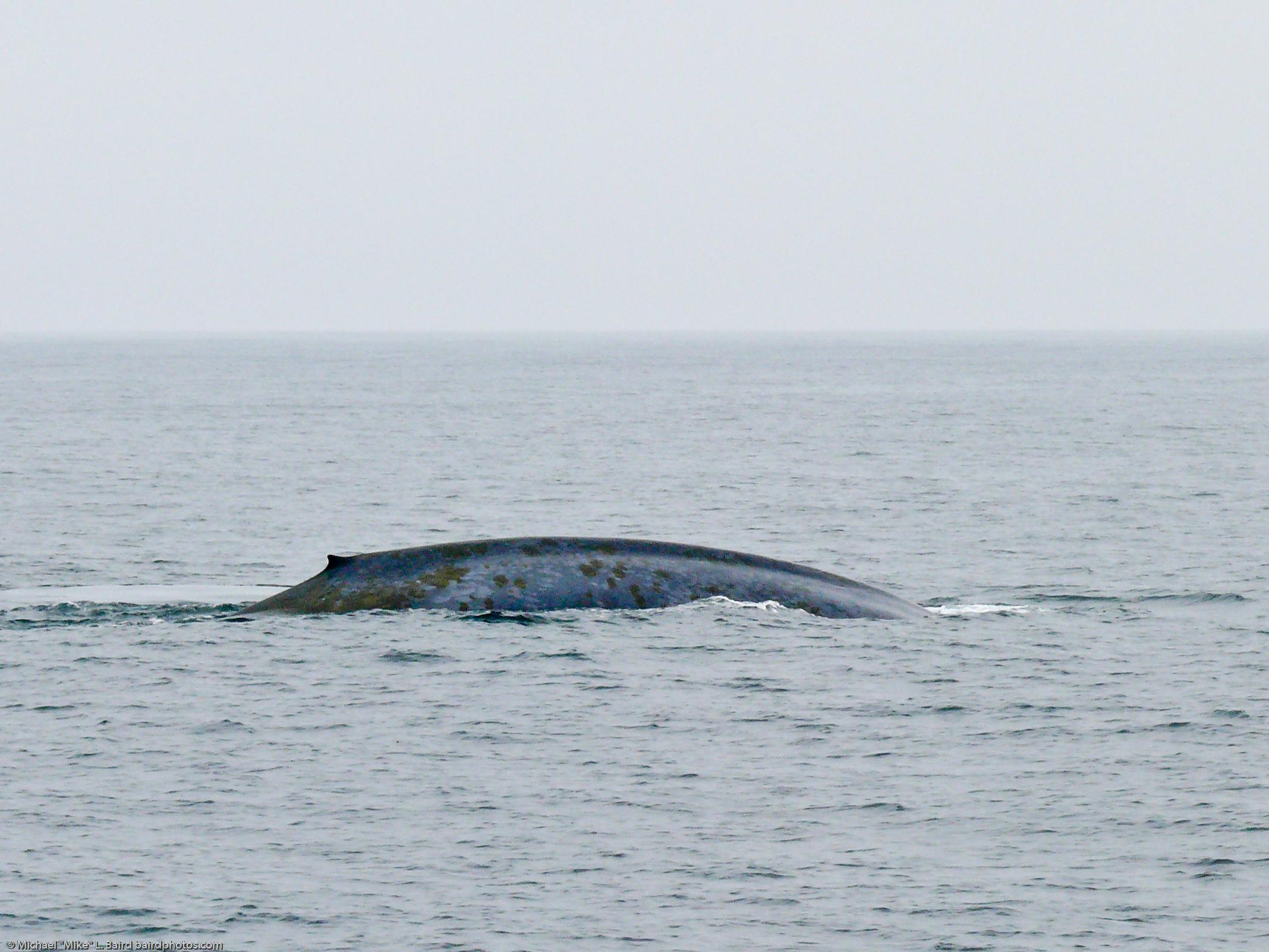 الحوت الأزرق (الفريق الازرق)