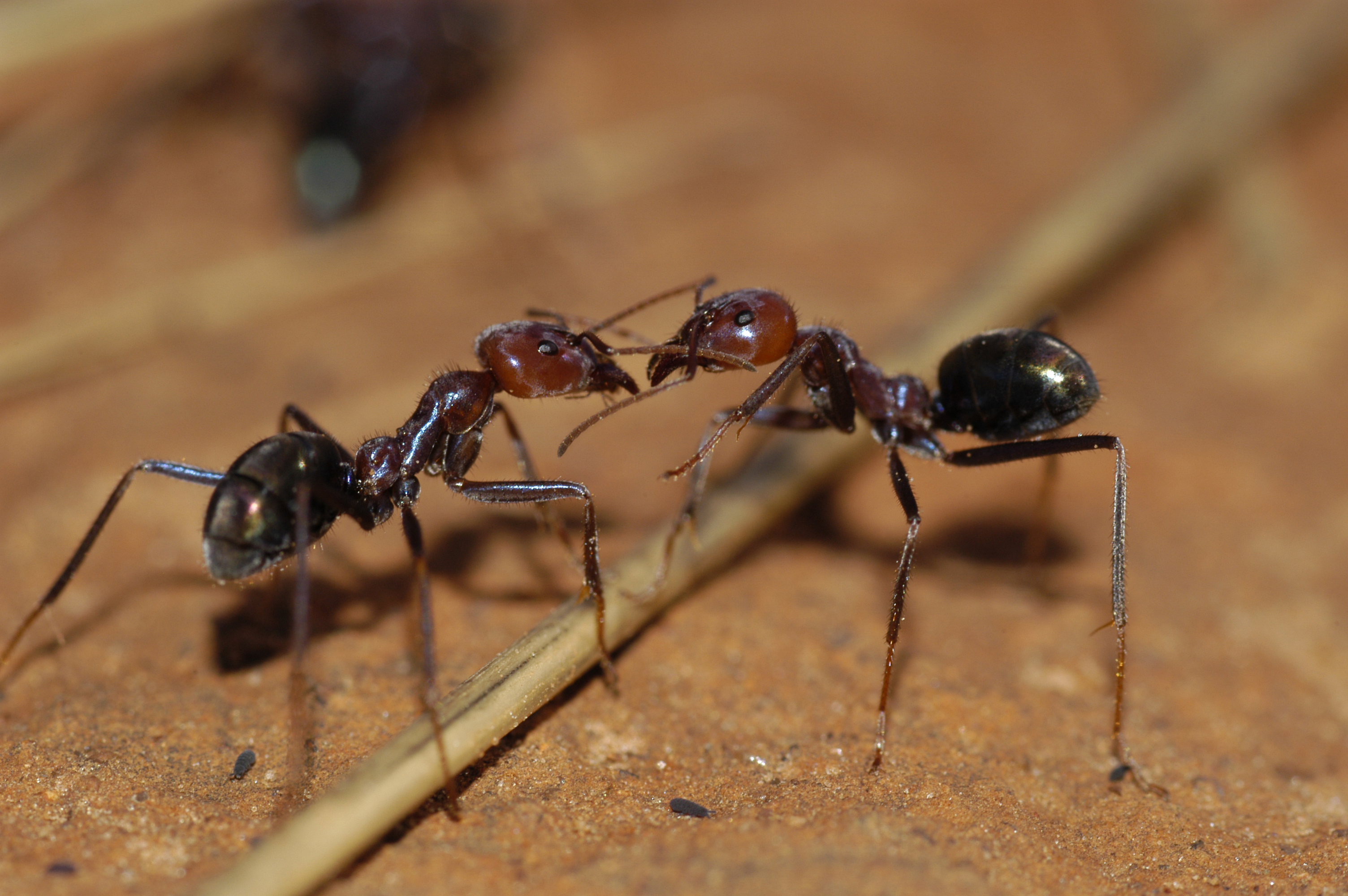 Iridomyrmex spp ants in perth wa