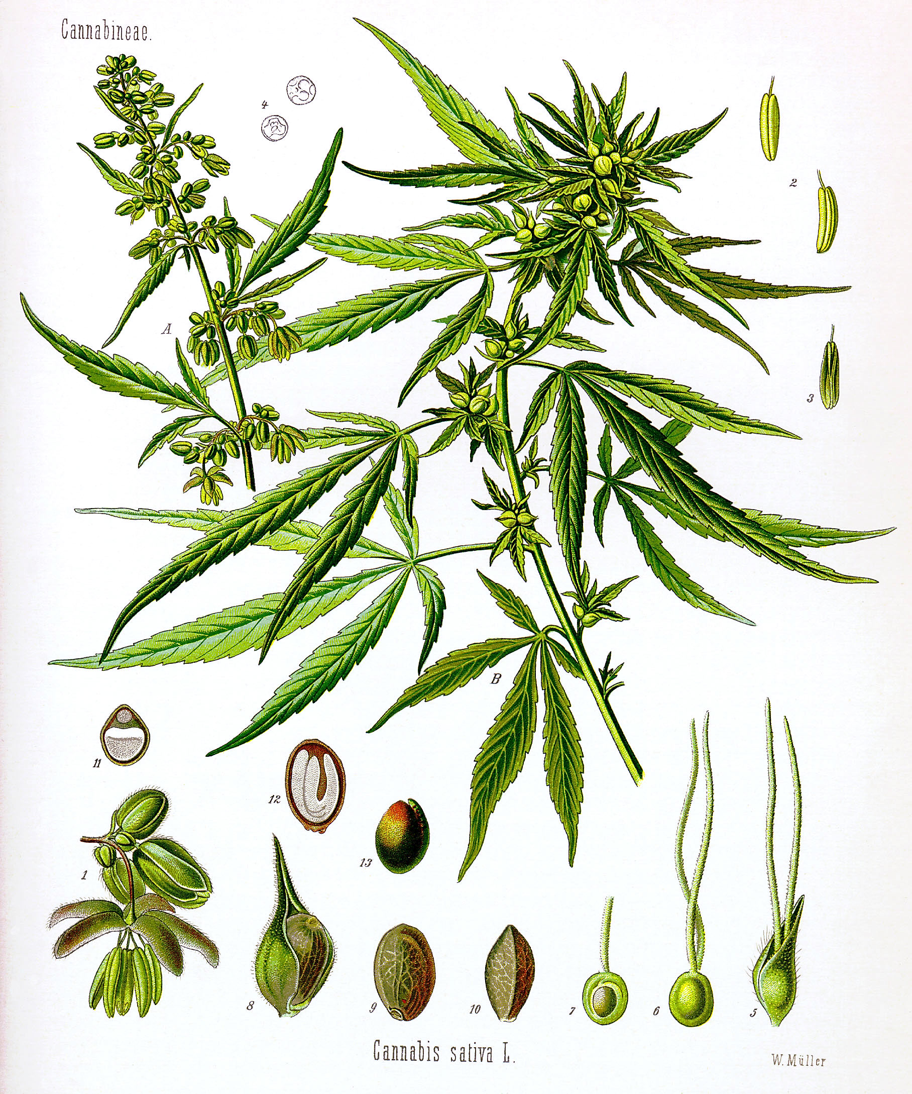 Guide to parts of the hemp plant