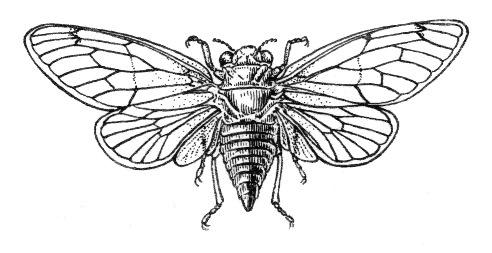 Cicada Line Dra...