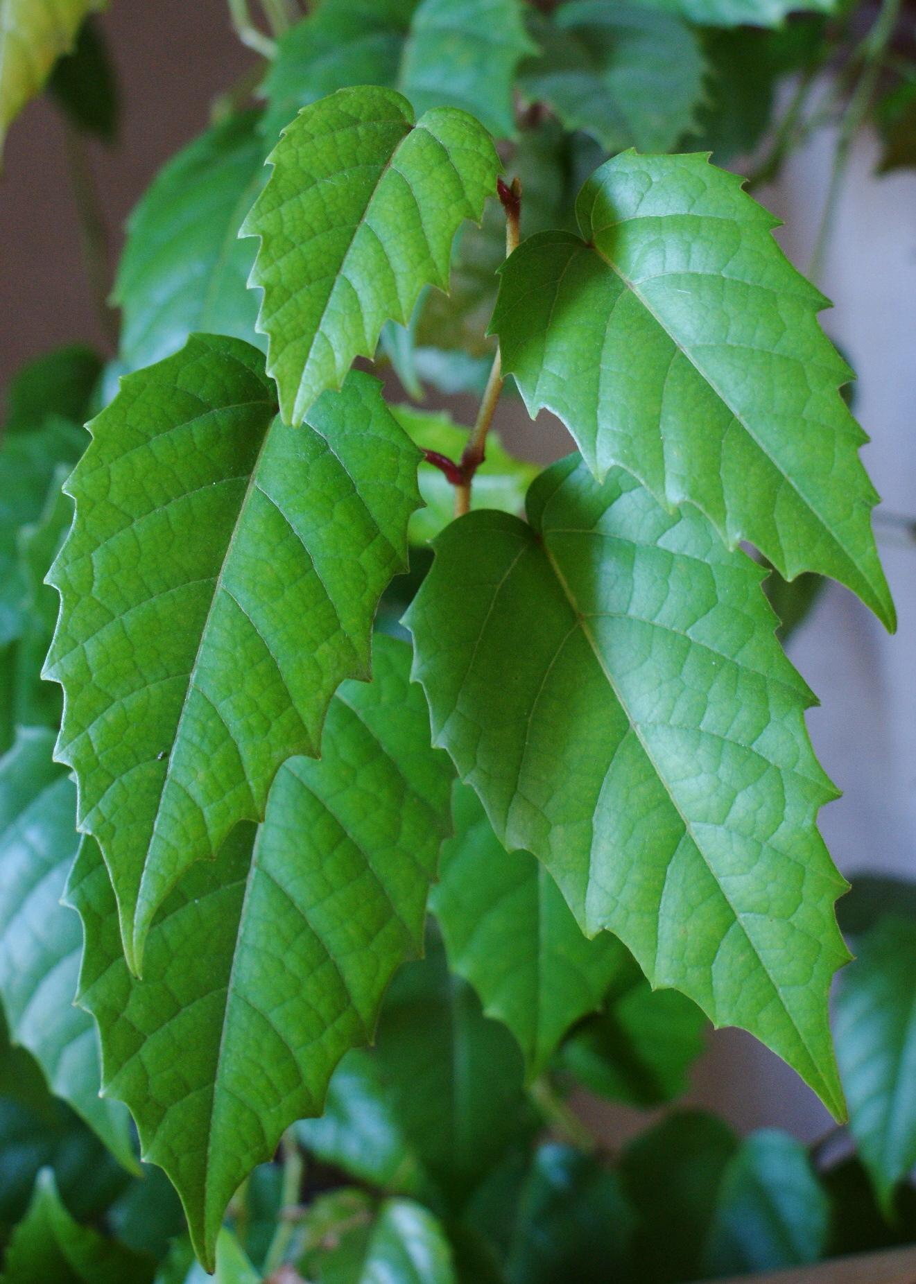 Cissus_antarctica_kz1 Cissus House Plant on kiwi fruit plant, codium plant, brassaia plant, rhapis plant, bursera plant, coccoloba plant, dioscorea plant, chirita plant, adromischus plant, calandrinia plant, cocculus plant, epipremnum plant, asystasia plant, medinilla plant, calendula officinalis plant, dorstenia plant, barleria plant, fiddle leaf plant, veltheimia plant,