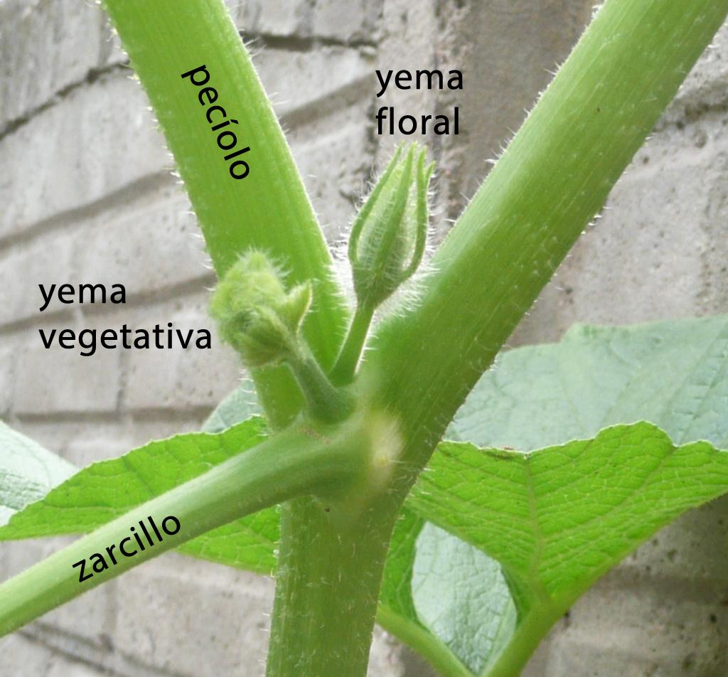 Archivo:Cucurbita maxima -zapallo plomo- (Costanzi temp2) nudo ...