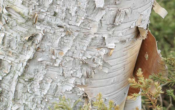 File:Curling bark of a paper birch.jpg