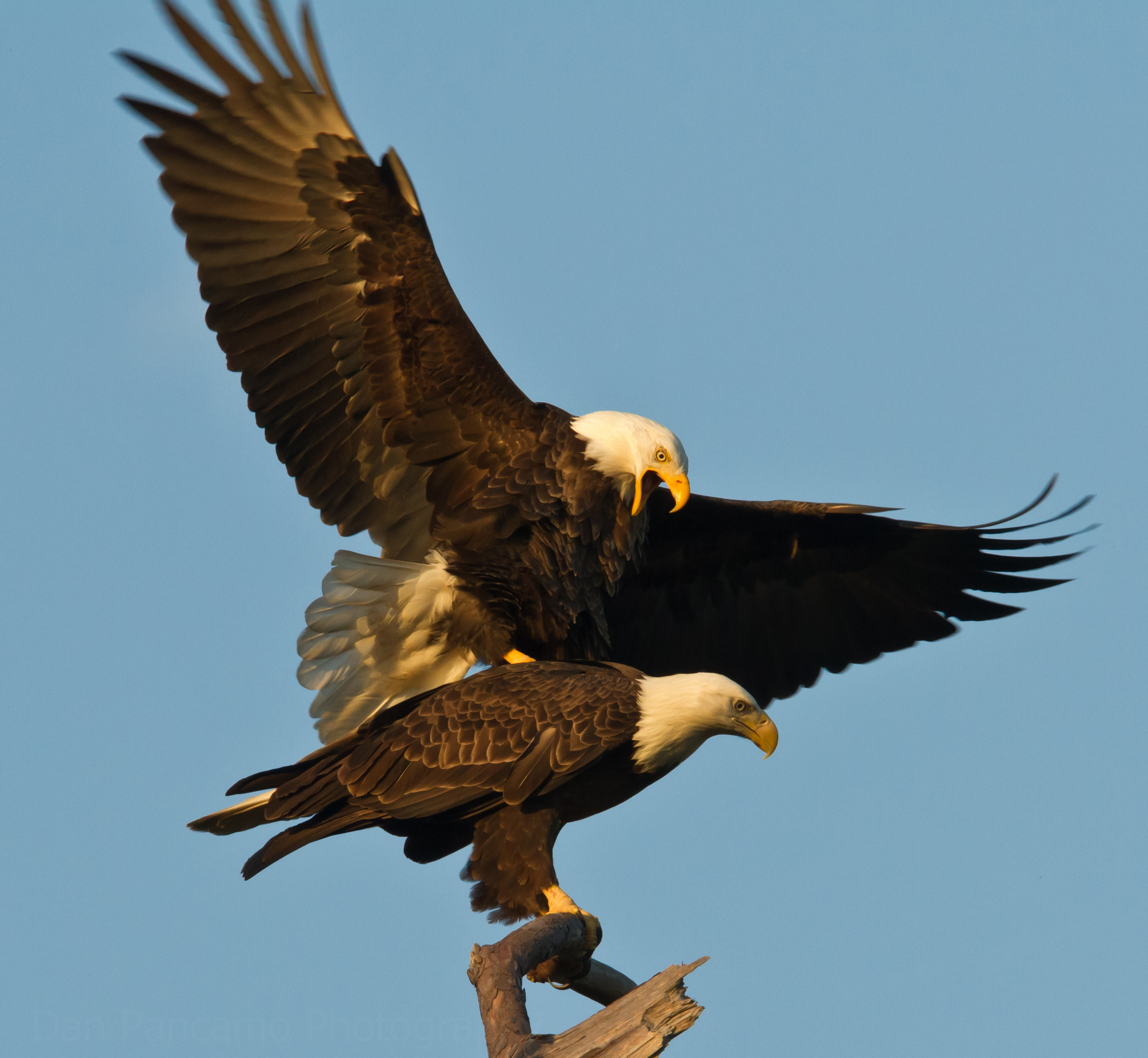 the american bald eagle The bald eagle is the national emblem of the united states the bald eagle is the second largest bird of prey in north american after the californian condor.