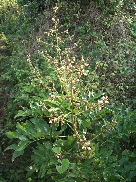 Deinbollia Oblongifolia Wikipedia