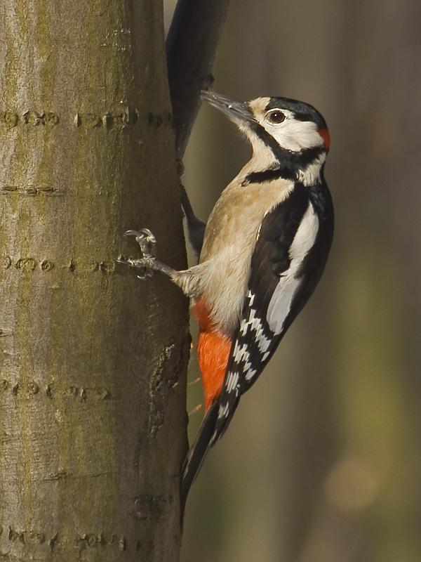 Jak udělat svého ptáka dlouhého a velkého
