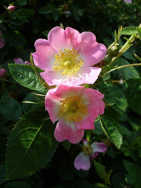 خواص گل نسترن + فواید میوه گل نسترن + عکس گل نسترن