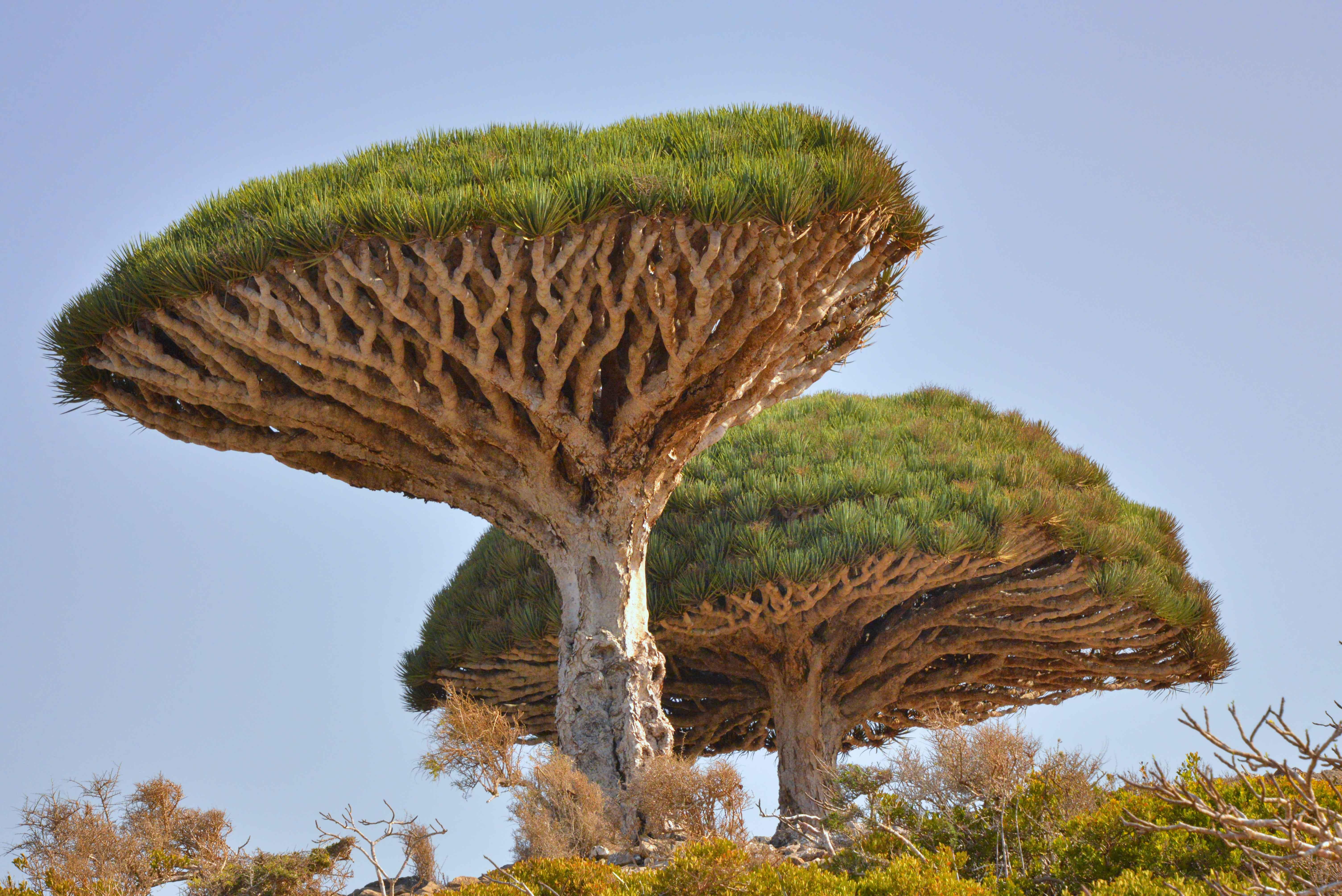 Socotra dragontree