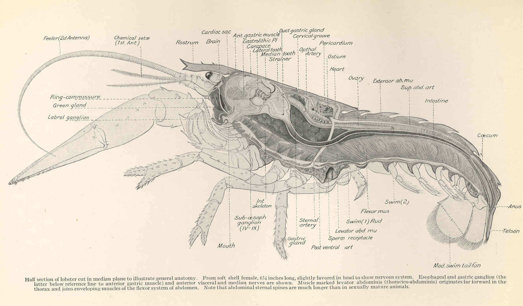 File:FMIB 47892 Half section of lobster cut in median plane to illustrate general anatomy From ...
