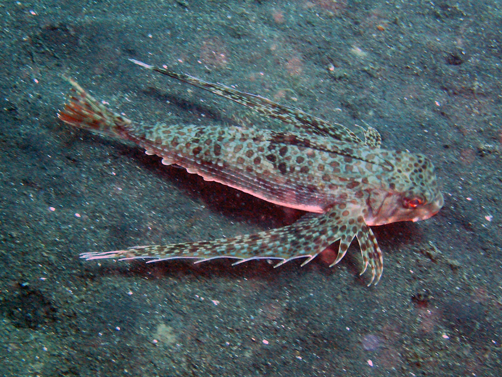 sea animal flying gurnard fish habitat