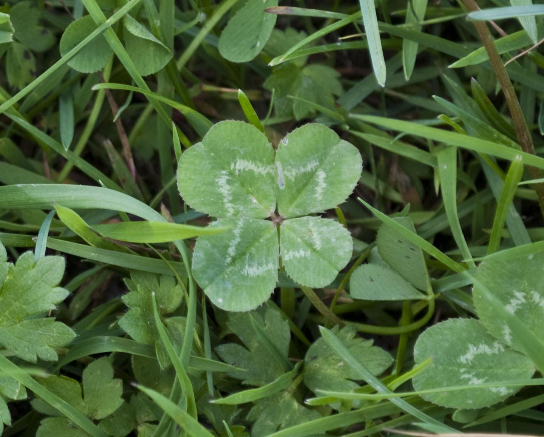 FileFour leaf Clover Trifolium repens 2jpg Wikimedia Commons