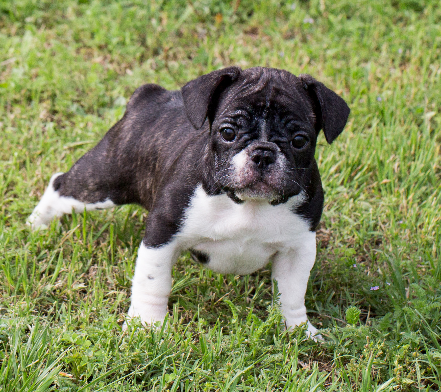 french bulldog wiki file french bulldog puppy 259a4145 jpg wikimedia commons 7781