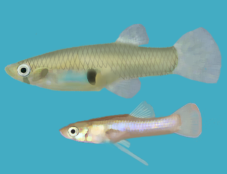 Eastern mosquitofish wikipedia for Mosquito fish facts