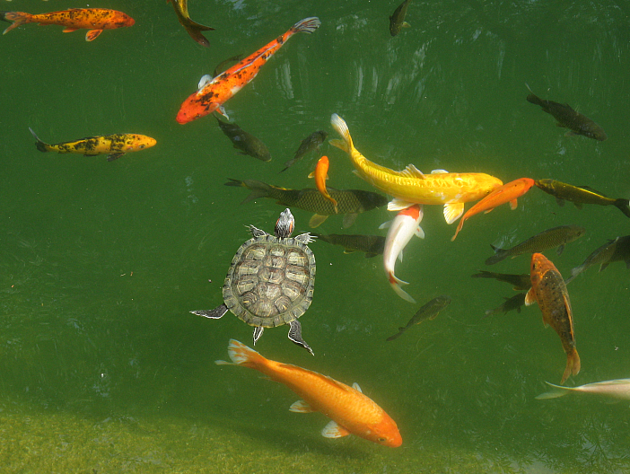 File goldfish in outdoor wikipedia for Goldfish pond plants