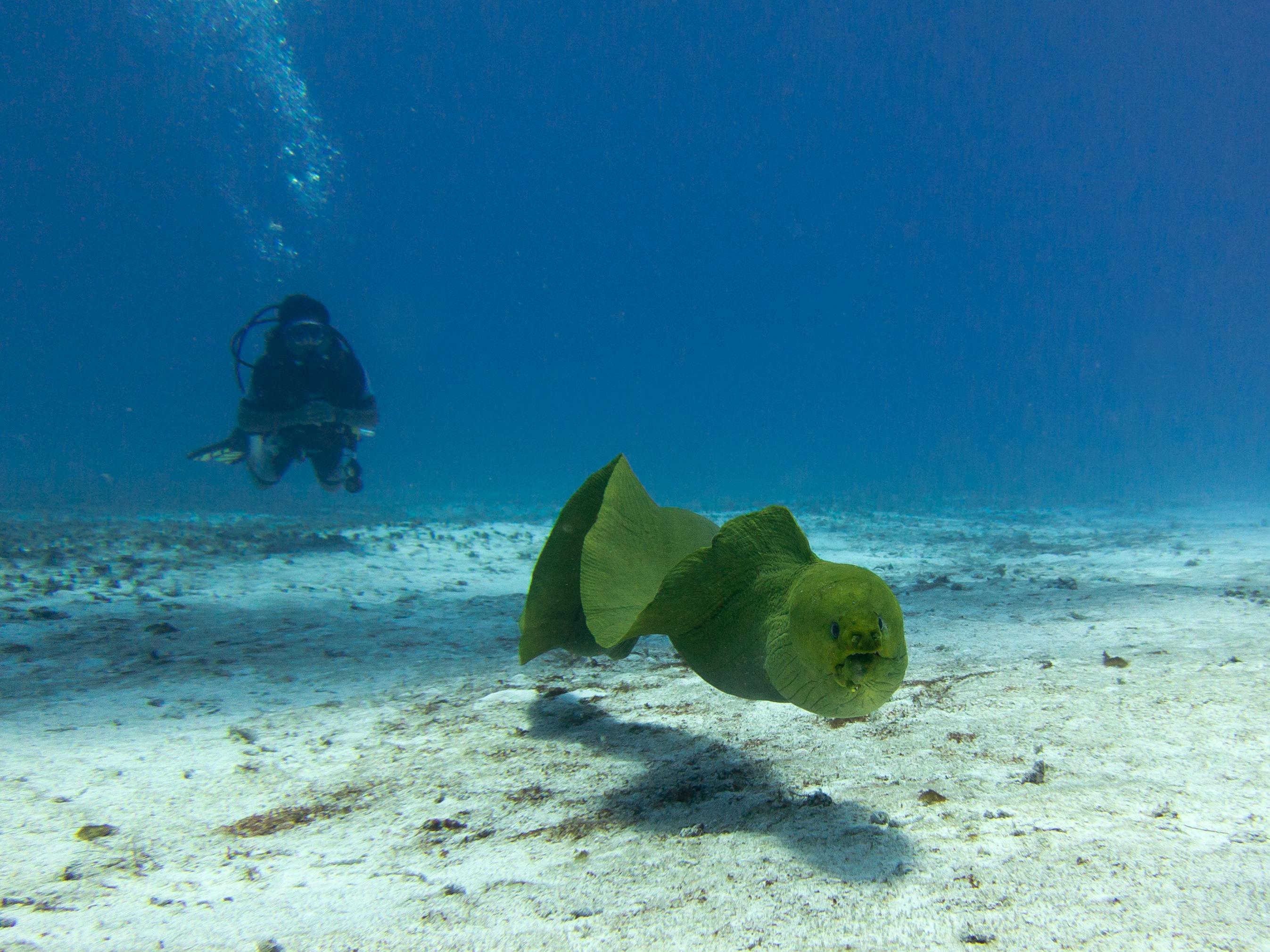 filegreen moray eel gymnothorax funebris cozumeljpg