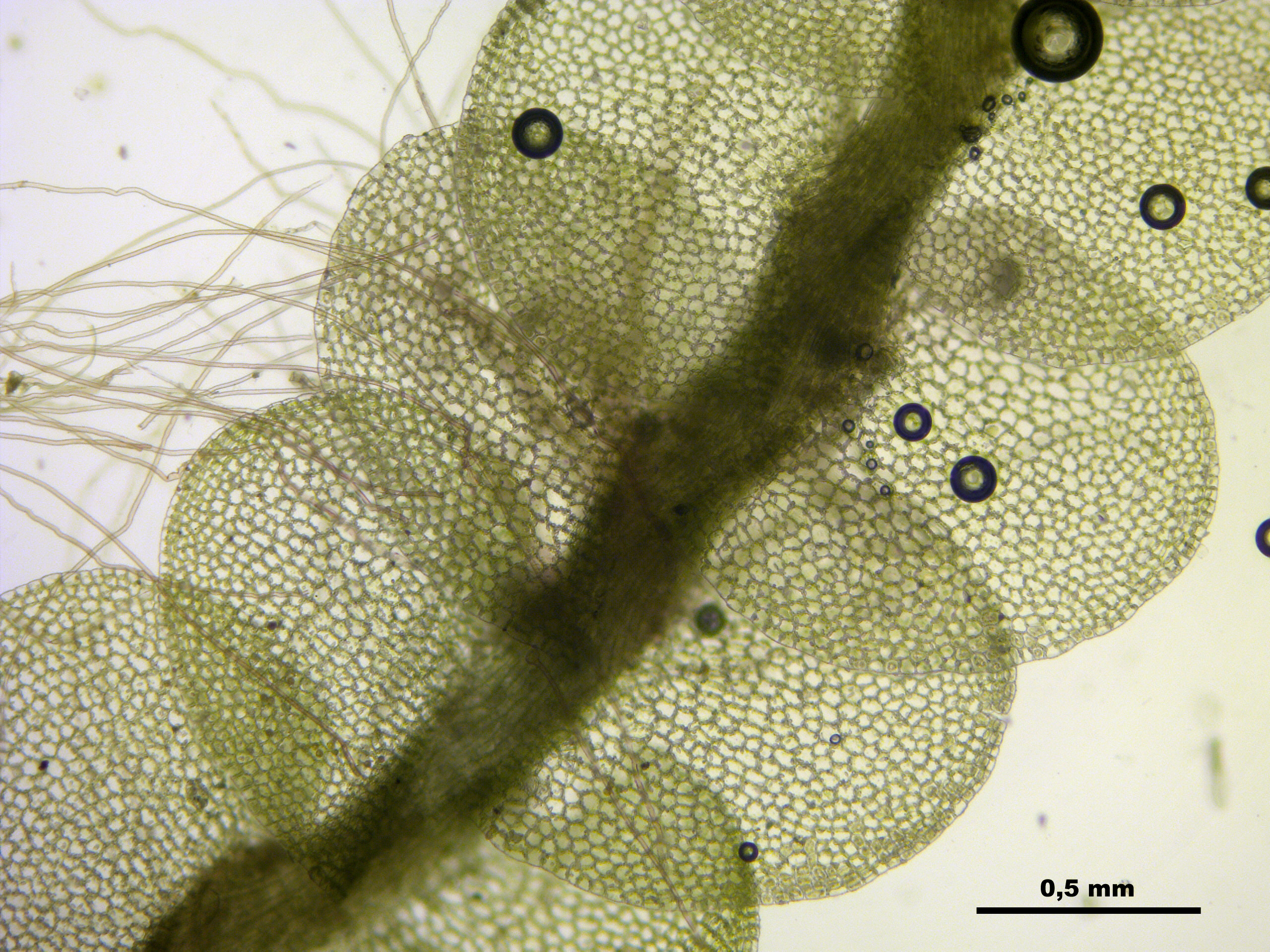 FileJungermannia Hyalina A 113308 471324 2470JPG