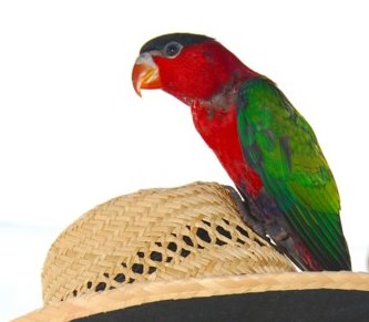 Lorius_hypoinochrous_-_perching_on_a_hat