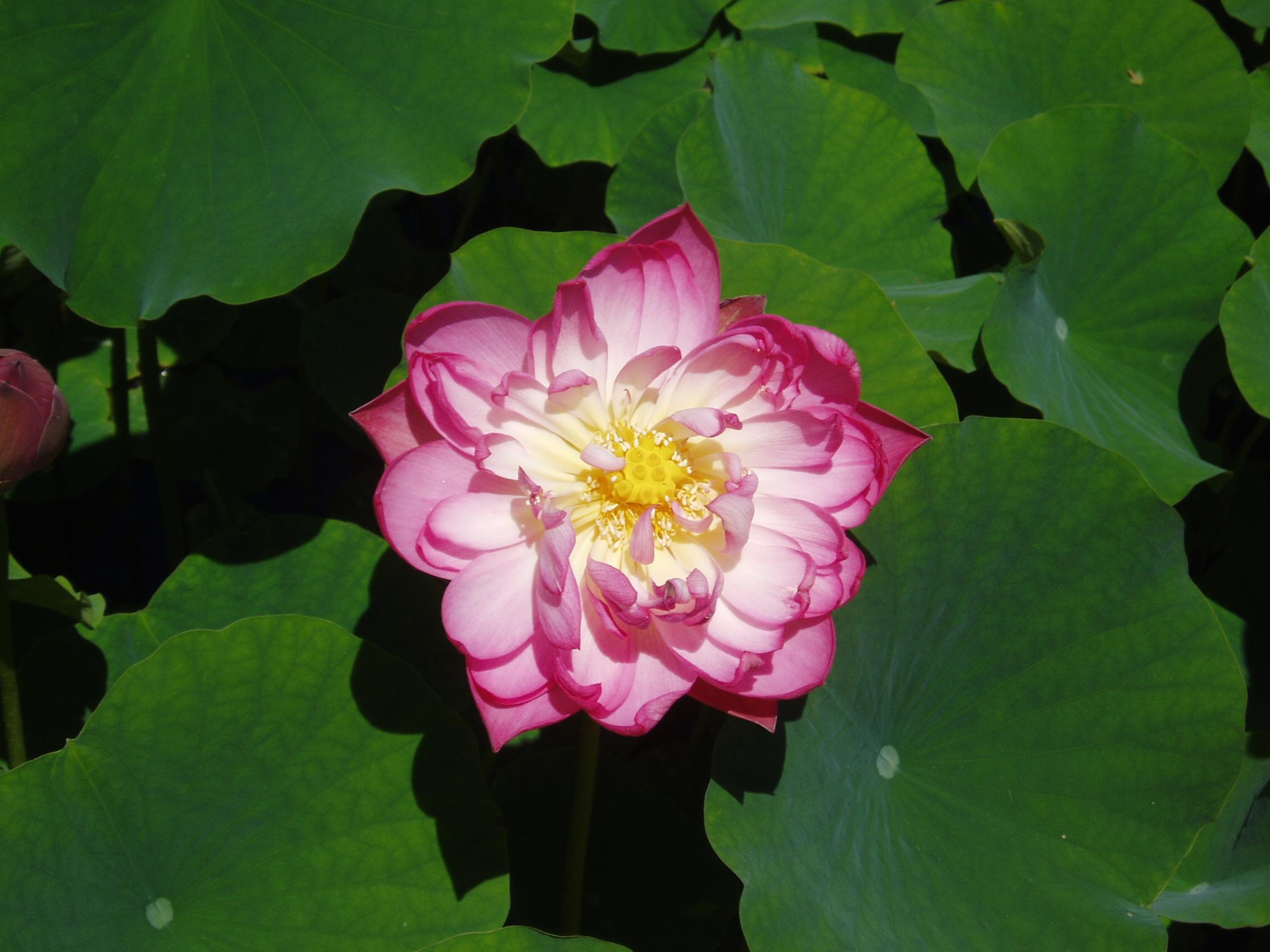 File:Loto rosa malaga.jpg - Wikimedia Commons