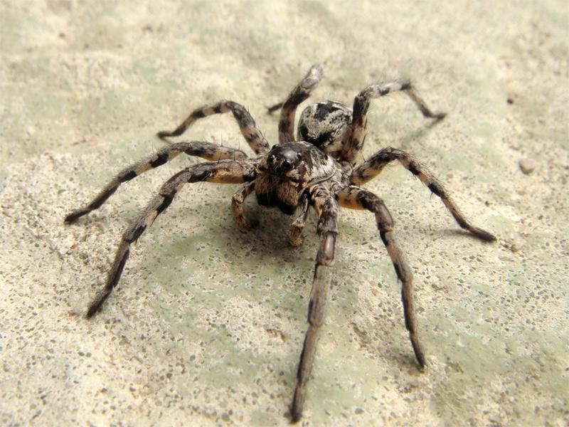 Lycosa tarantula.png