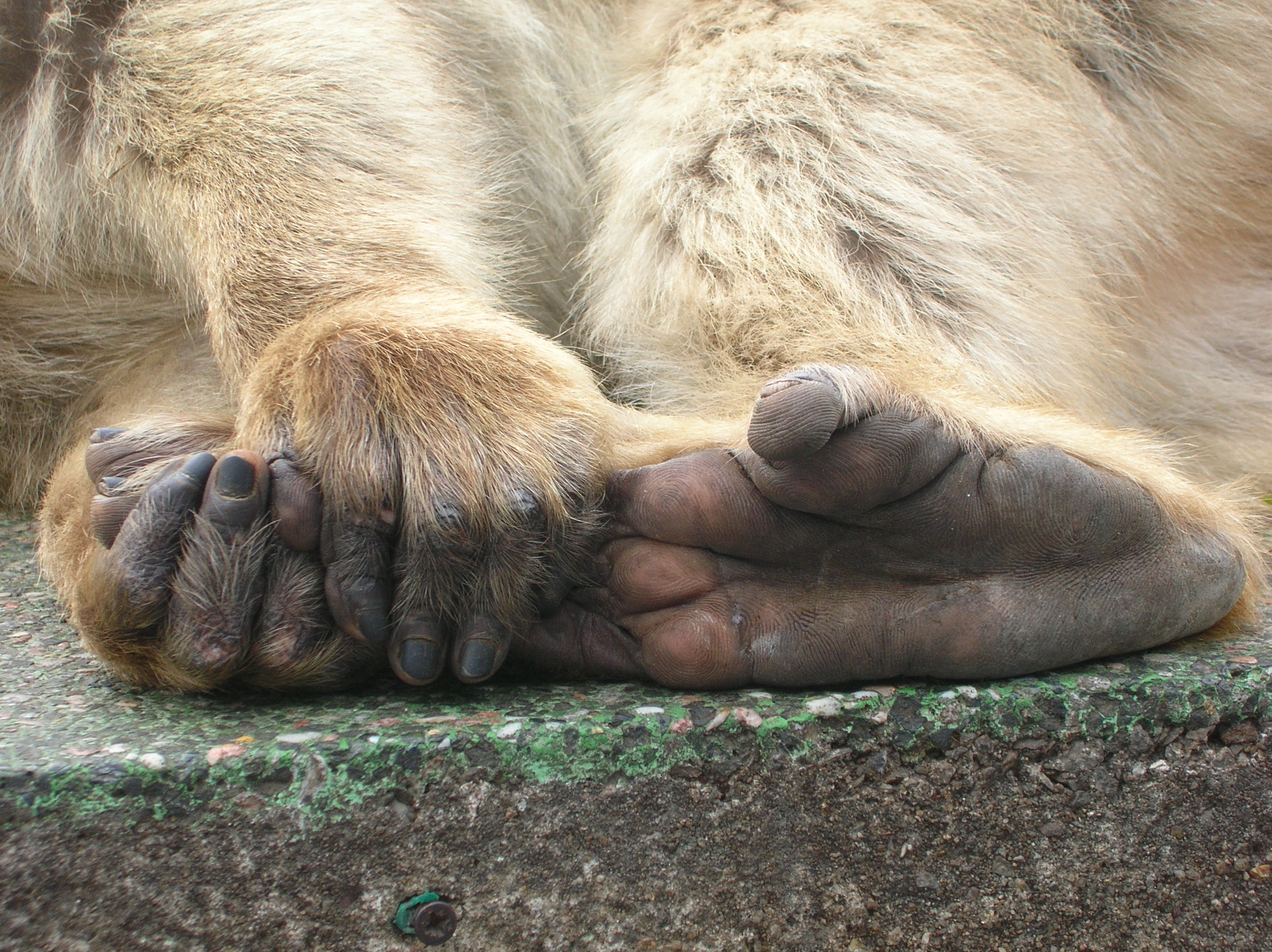 Fichier:Macaca sylvanus feet and hands.JPG