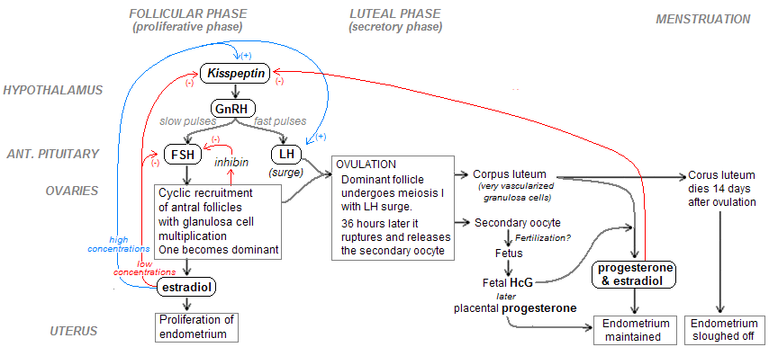 Filemenstrual cycle diagramg wikimedia commons filemenstrual cycle diagramg ccuart Gallery