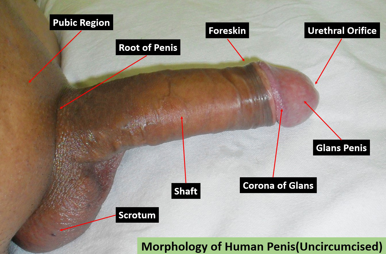 Magnificent idea Pics of uncircumcised penis apologise