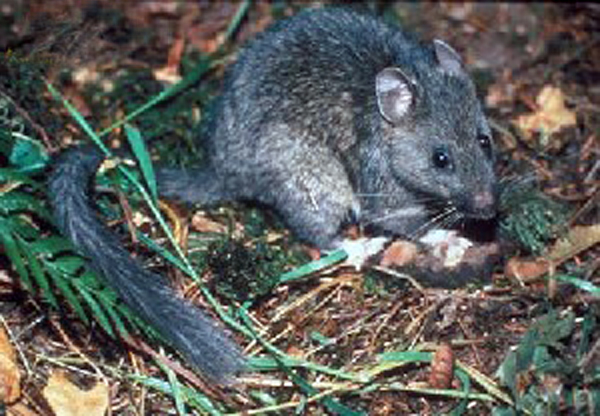Neotoma_cinerea_(bushy_tailed_woodrat).jpg (600×416)
