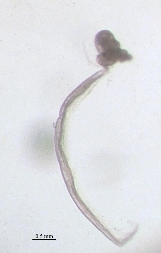 appendicularia