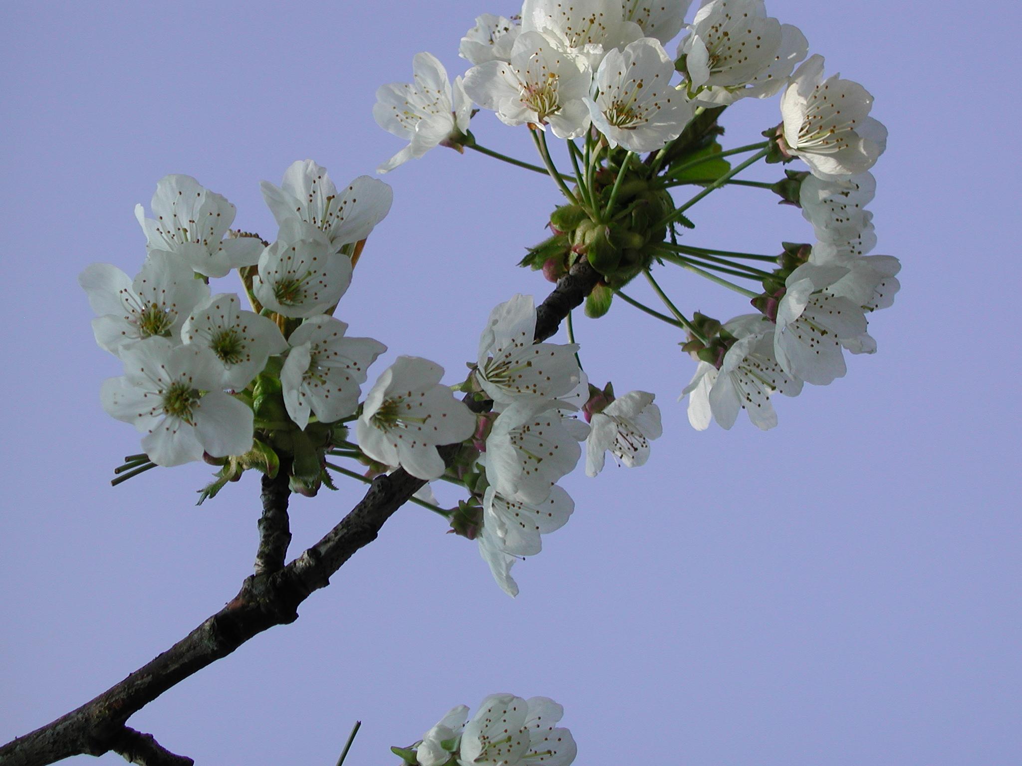 Ornamental Cherry Tree Blossom