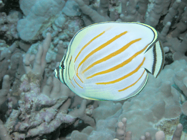 http://upload.wikimedia.org/wikipedia/commons/7/79/Ornate_Butterflyfish.jpg