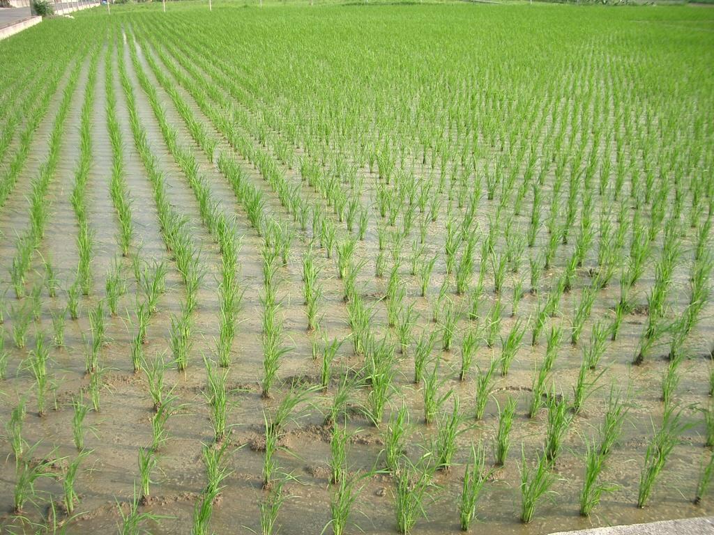 Oryza sativa Rice sprouts ja01.jpg